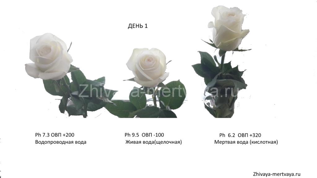 Влияние живой и мертвой воды на цветы день 1